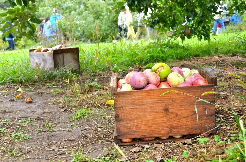 Apple-crate