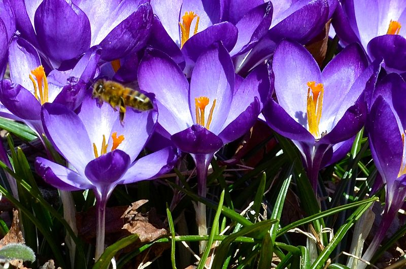 Easter bee crocus