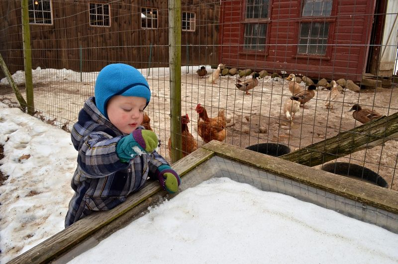 Snow for chickens