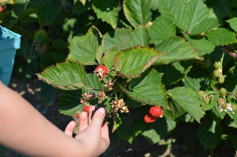 August-sweet-berry-farm-blackberry-picking-new-england03