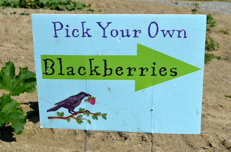 August-sweet-berry-farm-blackberry-picking-new-england10