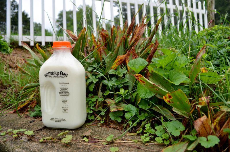 Buttercup raw milk farm sterling ct multiple realities09
