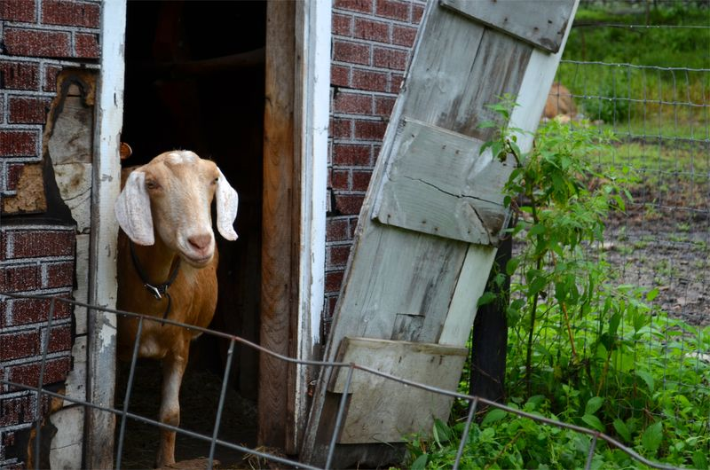 Buttercup raw milk farm sterling ct multiple realities05